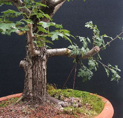 Hawthorn bonsai with guy wires
