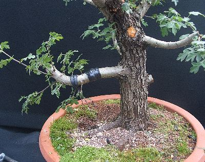 Hawthorn bonsai hollowing finished
