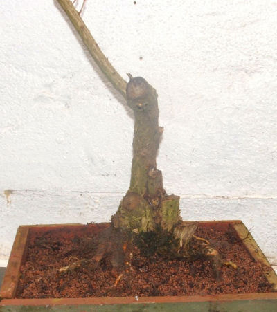 single-trunked bonsai