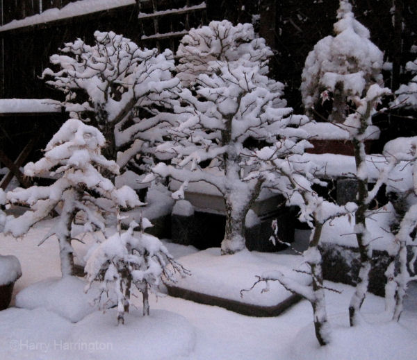 bonsai in the snow