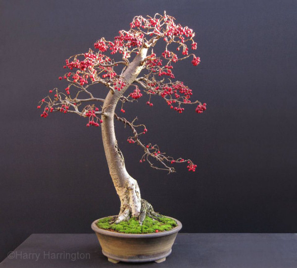 cotoneaster bonsai berries