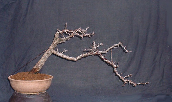 Hawthorn Bonsai Progression