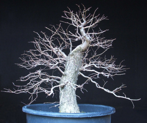 developing deciduous bonsai branch structures rh bonsai4me com Black Pine Bonsai Black Pine Bonsai