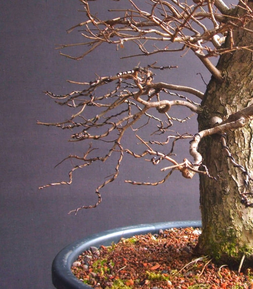 developing deciduous bonsai branch structures rh bonsai4me com Bonsai Plants Bonsai Plants