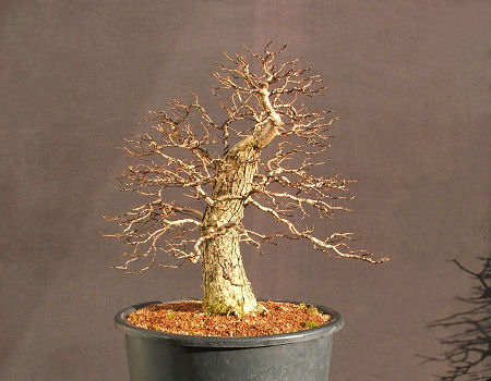 developing deciduous bonsai branch structures rh bonsai4me com Bonsai Plants Bonsai Tree