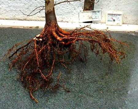 roots of a bonsai tree