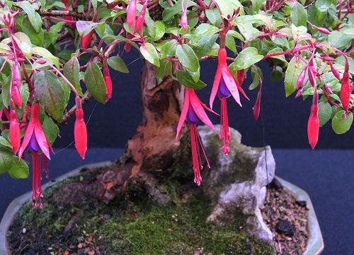fuchsia bonsai