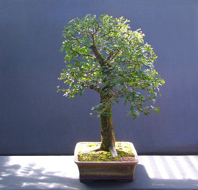 hawthorn bonsai aug08