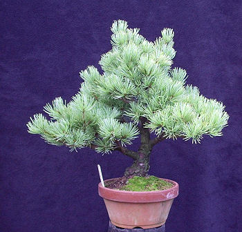 Japanese White Pine as bought