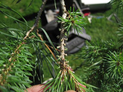 bonsai pine needle plucking