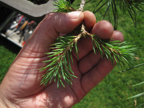 bonsai pine pruning