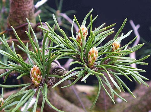 Pinus Mugo Buds In Spring