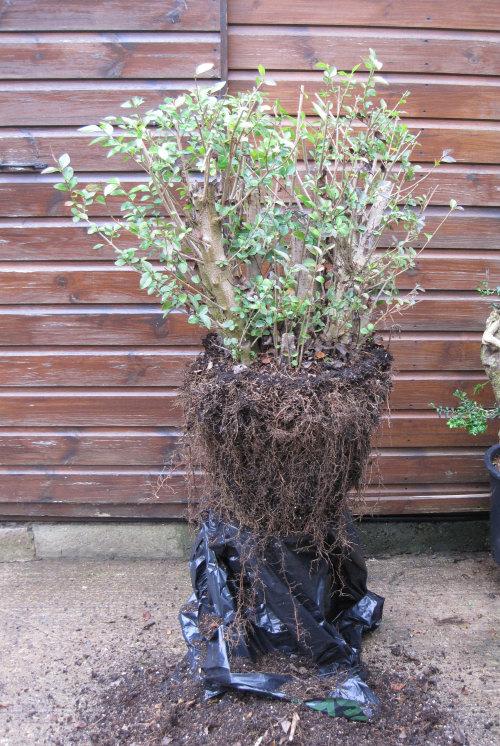 Privet Multi Trunk Bonsai