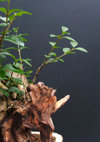 Repairing Snapped Bonsai Branches