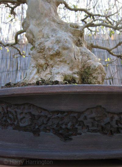trident maple bonsai pot