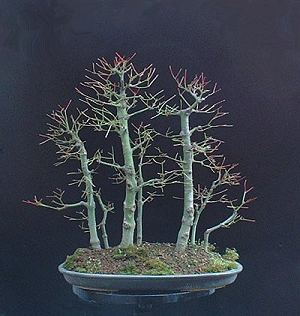 Defoliating or Leaf-cutting Bonsai