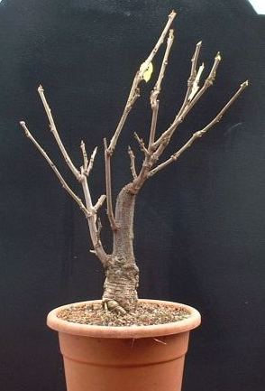 Japanese Wisteria Bonsai