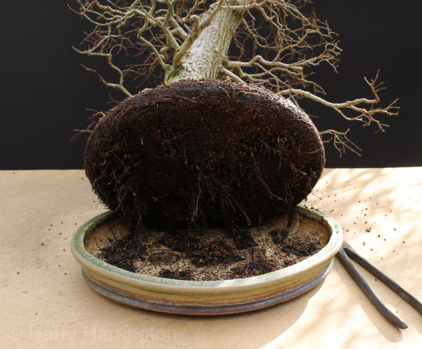 removing bonsai from pot