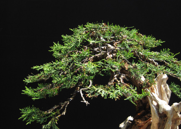 wiring bonsai rh bonsai4me com wiring juniper bonsai tree Japanese Bonsai Trees