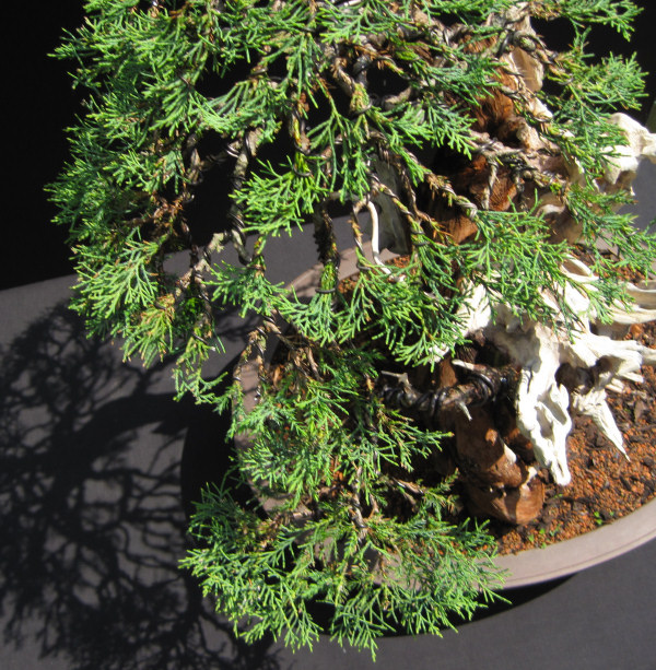 wiring bonsai rh bonsai4me com Juniper Bonsai Before and After Blue Star Juniper Bonsai