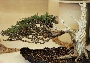 Picture of Ligustrum bonsai taken at Tatton Park as part of North of England Bonsai stand - Artist unknown