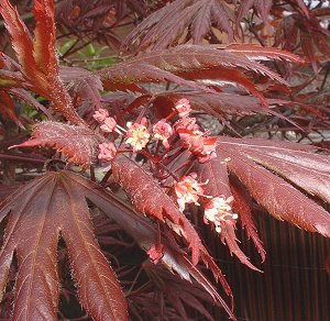 Acer Palmatumjapanese Maple Bonsai Species Guide