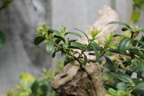 boxwood leaf