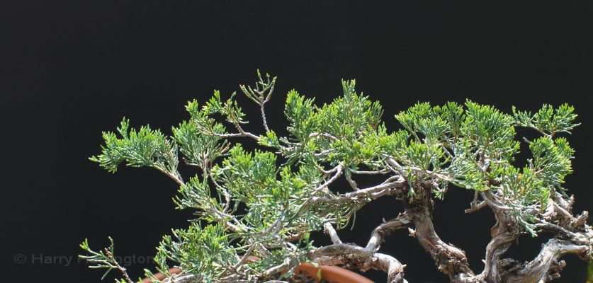 juniper bonsai scale foliage