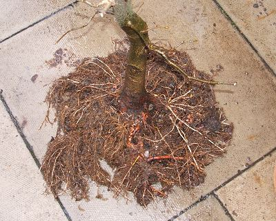 Lime Tilia Planted on a Tile
