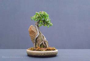 English Elm Bonsai