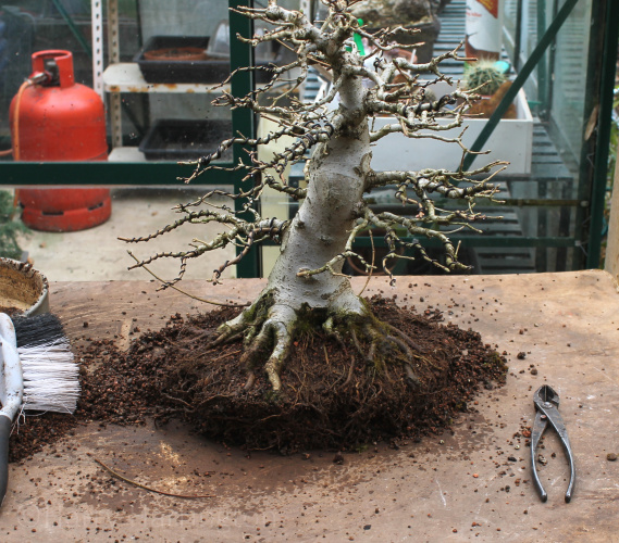 Root Pruning A Field Maple Bonsai