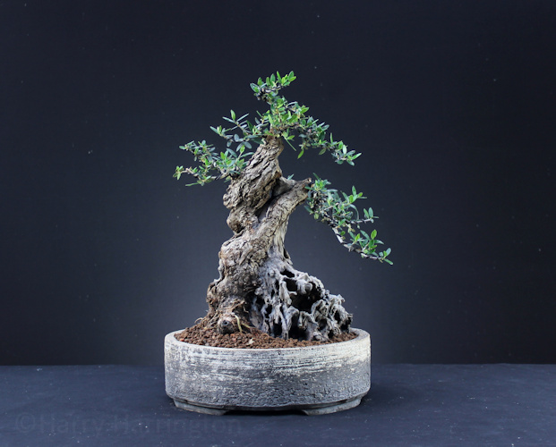 Olive Bonsai Styling