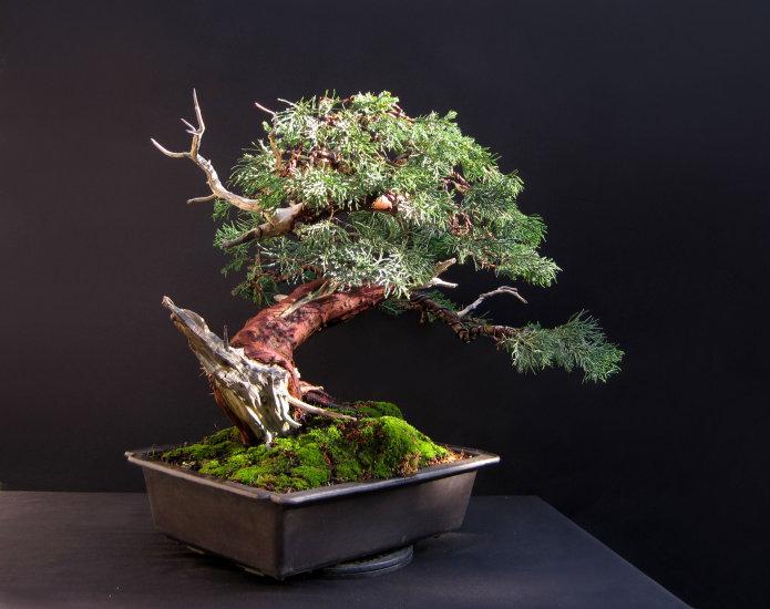 San Jose Juniper Bonsai